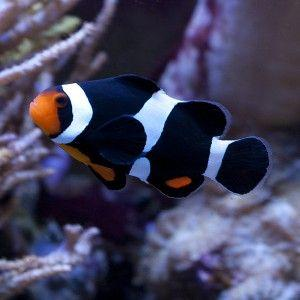 Amphiprion Ocellaris Black, pez Payaso