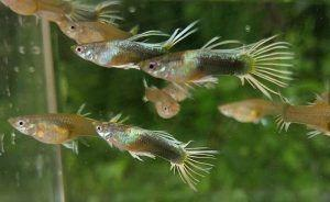 guppy crowntail