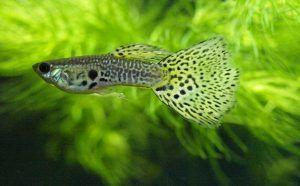 guppy leopardo