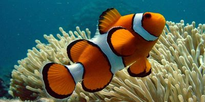 Pez Payaso, Amphiprion Ocellaris