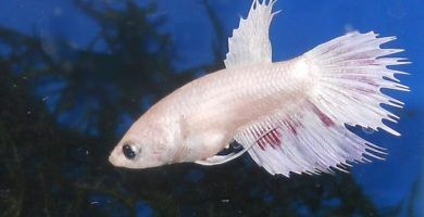pez betta blanco
