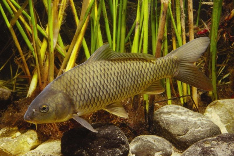 pez carpa, Cyprinus Carpio